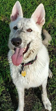 You don't get this beautiful without having a mud bath. ( Slightly Off - White German Shepherd Dog )