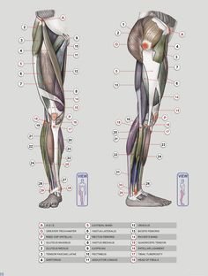 Anatomy Next - Anatomy of Lower limb: Anatomy & features
