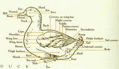 Diagram of basic outer anatomy of a duck... and information on raising ducks.