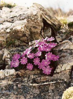 Rock Flowers, Flowers Nature, Wild Flowers, Beautiful Flowers, Alpine Garden, Alpine Plants, Alpine Flowers, Nature Sauvage, Rock Garden Plants