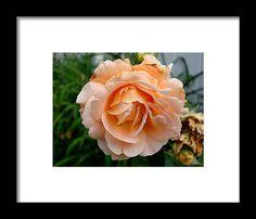 rose, orange, macro, nature, blossom, flower,  michiale schneider photography