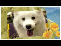 Learn American Eskimo Dog training tips HERE: http://obedient-dog.net/dog-breeds/american-eskimo-dog-training-secrets.html