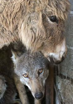 One villager had the idea of putting a live donkey in the cage with the wolf to be eaten. Instead, the wolf and the donkey became friends. They did not attack each other, and they had a peaceful relationship in the cage. They even cuddled.