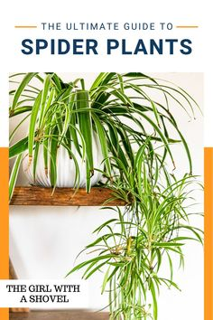 Never wonder again what your spider plant wants! Check out this guide on what EXACTLY your spider plant wants and needs from you! All About Plants, Spider Plants, Bedroom Plants, Plant Care, Houseplants, Indoor Plants, Planter Pots, Herbs, Gardening
