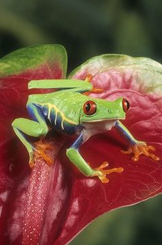 ☆ Red-Eyed Tree Frog, Costa Rica :¦: Gail Melville Shumway Photography ☆