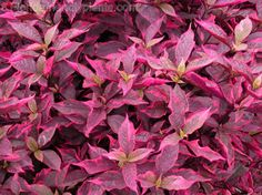 Proven Winners in. Religious Raddish Coleus - The Home Depot Florida Plants Landscaping, Florida Gardening, Outdoor Landscaping, Front Yard Landscaping, Outdoor Gardens, Landscaping Ideas, Backyard Ideas, Tropical Garden, Tropical Plants