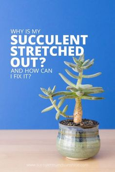 Learn what causes succulents to stretch and lose their shape - plus, find out how to fix the problem. via @succsandsun
