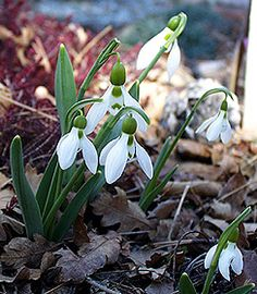 Snowdrops (Galanthus), they come up before crocuses. Plant a blanket of them to replace the snow as it fades.