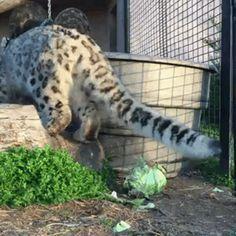 Even big cats can access the cat dimension [xpost /r/BigCatGifs] : thecatdimension