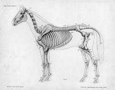 Horse anatomy by Herman Dittrich - full body skeleton