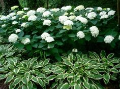 "love the underplanting of white trimmed hosta. ?other white trimmed perennials-""Jack Frost"" Brunnera would be lovely"
