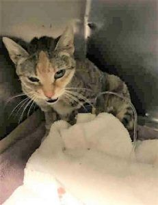MARIAH – A1107112 - 3yrs  FEMALE, TORBIE, DSH - POOR MARIAH HAS A URI AND HAS AN ABSCESS WHICH NEEDS TO BE CHECKED BY A COMPETENT VET