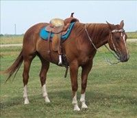 ******ATTRACTIVE & Beautiful QUARTER HORSE For Sale Gelding*******