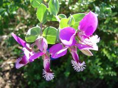 Polygala Dazzler is a hardy shrub that has attractive, almost year round, purple pea-like flowers on light green foliage. It makes a great flowering hedge.
