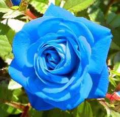 Roses #flowers learn how 2 #grow #rose http://www.growplants.org/growing/hybrid-tea-rose Buy Light Blue Rose Flower Seeds