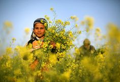 atlanticinfocus:  From The First Day of Spring, one of 26 photos. A Palestinian man and his daughter pick wild mustard flowers, which grow in open fields across the Gaza Strip, on March 20, 2014, as the official start of spring was marked by the by the Vernal Equinox. (Mohammed Abed/AFP/Getty Images)