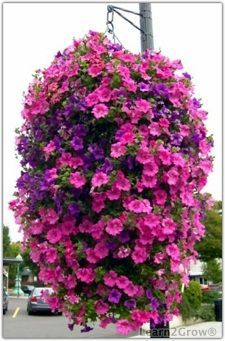 Petunias (Petunia) and million bells (Calibrachoa) are great plants for container gardens.
