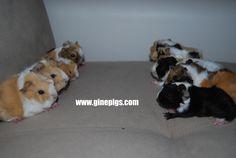 guinea pig sahiplenme, ginepig sahiplenme , ginepig fiyat