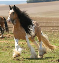 Gypsy Vanner a small draught (draft) breed native to the British Isles