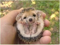 Baby hedgehogs are so cute!