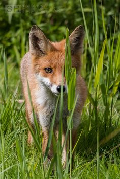 Red Fox by Silvia H. (canSHoot) on 500px