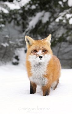 Cold Nose by Megan Lorenz ~ Wild Red Fox in Ontario, Canada** Nature Animals, Animals And Pets, Baby Animals, Cute Animals, Beautiful Creatures, Animals Beautiful, Fox In Snow, Fox Totem, Fox Images