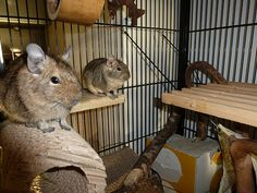 degu Degu, Pet Rat Cages, Uk Photos, Pet Rats, Squirrels, Brain, Exotic, Cute, Animals