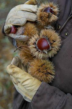mordmardok: http://www.nwfoodnews.com/2011/12/16/chestnuts-return-to-america/