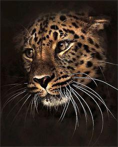 llbwwb: Beautiful Leopard by Jungle Animals, Animals And Pets, Cute Animals, Nature Animals, Wild Animals, Big Cats Art, Cat Art, Beautiful Cats, Animals Beautiful