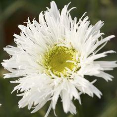 ~~ Shasta Daisy - Leucanthemum x superbum ~~