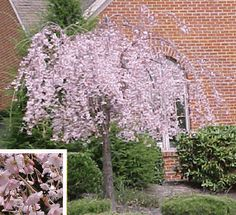 Speciman trees - Weeping Higan Cherry  Likes full sun, well drained soil, profuse pink to white flowers on weeping branches in spring before leaves appear. Can grow up to 30'.