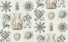 Rrrrhaeckel_narcomedusae_shop_preview