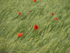 Wheat field with poppies.