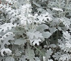 dusty miller...this is sold as an annual..but it will come back every year. Mine…