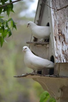 White Doves Sitting Checking Out the Day animals nature birds birdhouse wildlife doves Pretty Birds, Love Birds, Beautiful Birds, Birds 2, Small Birds, Colorful Birds, Simply Beautiful, Beautiful Things, Dove Pigeon