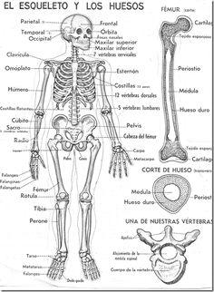 El esqueleto y los huesos para colorear. Tiene los nombres de los huesos.
