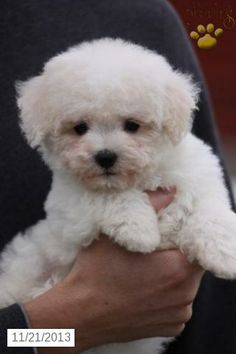 how to raise a bichon frise puppy