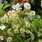Hydrangea seemanii: An invaluable, woody, evergreen climber, which can attach itself with aerial roots. The attractive leaves are mid green and leathery and will provide year-long interest. From early summer interesting clusters of greenish cream flowers appear and grow up to 15cm across. These last well into autumn and provide a beautiful display.
