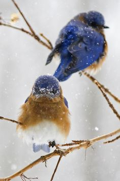 tiny-creatures:   	Bluebirds in the snow by Cheryl Rose