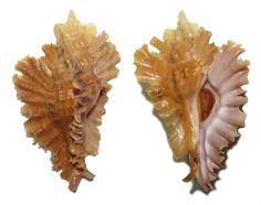 PTERYNOTUS PHYLLOPTERUS MURICIDAE