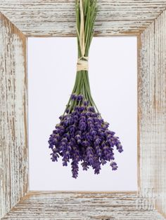 Lavender Hanging Up to Dry Photographic Print by Ottmar Diez at Art.co.uk