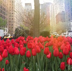 Tulips on Park avenue New York #spring