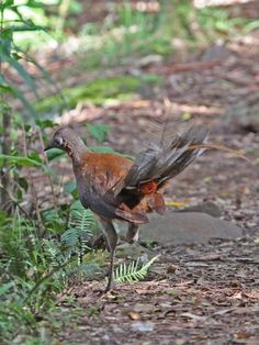Albert's Lyrebird (Menura alberti) male bird running