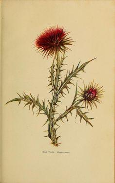 Hard to find a nice Thistle tattoo Botanical Drawings, Botanical Art, Botanical Illustration, Illustration Art, Vintage Flower Tattoo, Vintage Flowers, Vintage Floral, Thistle Tattoo, Thistle Flower