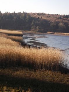 Great light on local river reedbeds on Nov. afternoons