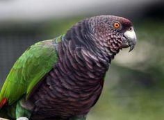 Imperial Amazon Parrot