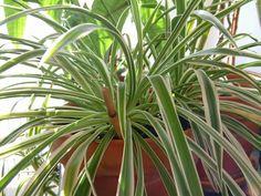 Clorofito (Chlorophytum comosum). Plantas que vão purificar o ar de sua casa   Cura pela Natureza