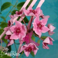 Hoya dennisii 'Gold Ridge' Cutting [IML 0955] - $16.00 : Buy Hoya Plants and Hoya Cuttings Today!