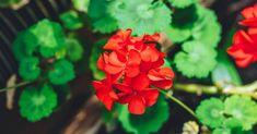 Květy muškátu