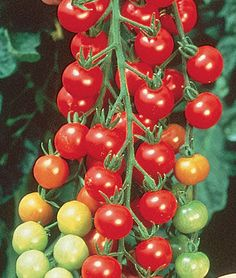 Tomato Plants Tomato, Super Sweet 100 Hybrid (from the BHG Food Revolution Garden list) - Cherry tomatoes bursting with sugary flavor. The scarlet, cherry-sized fruits are produced in long pendulous clusters right up to frost. Grow on stakes or a fence.